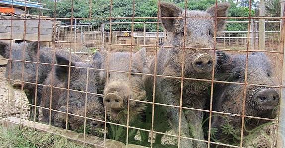 国頭村のブランド豚「山原猪豚」