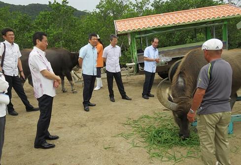 西表島から由布島まで人間たちを運ぶ水牛