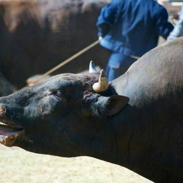 日本最西端の島で開催される『夏の闘牛大会』