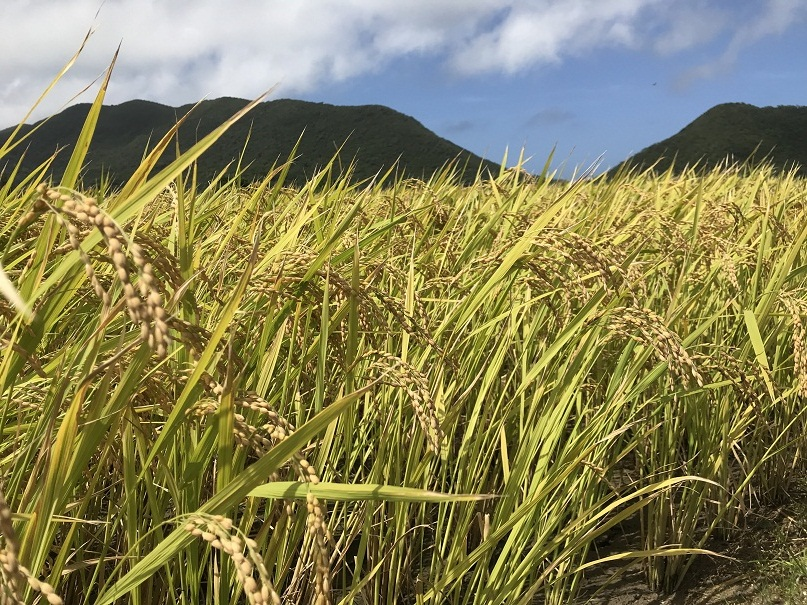 伊平屋島山の麓に広がる黄金色の稲