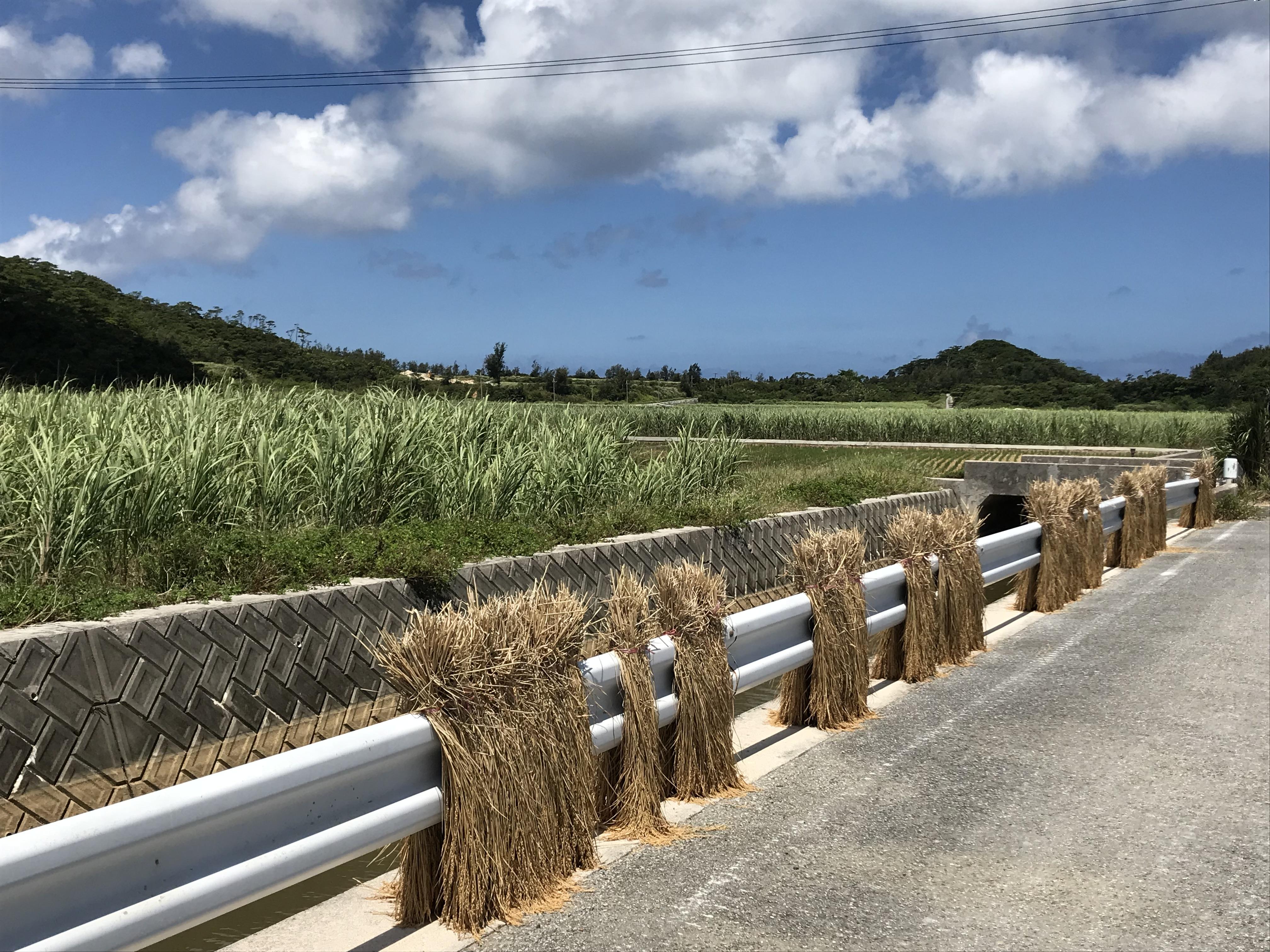 伊平屋刈り取られた稲がガードレールで天日干し