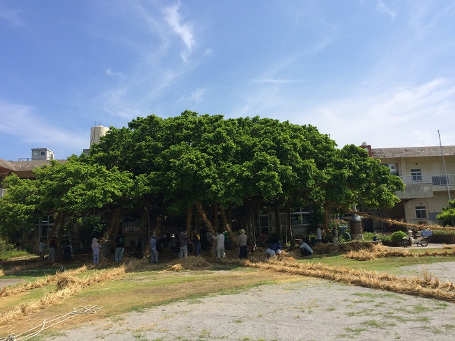 小学校の校庭にある「がじゅまる」の木