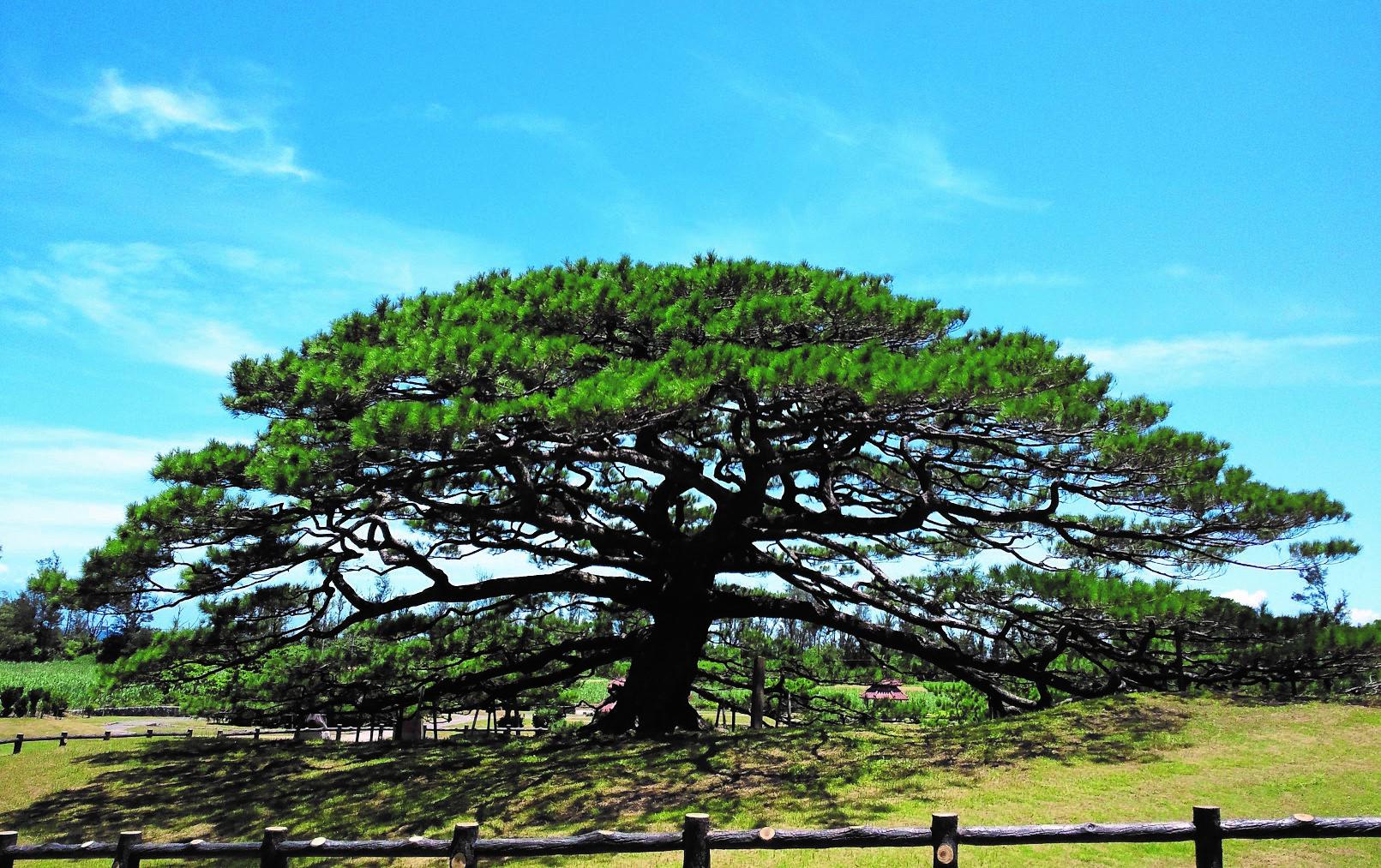 沖縄県の二大名松として有名な念頭平松