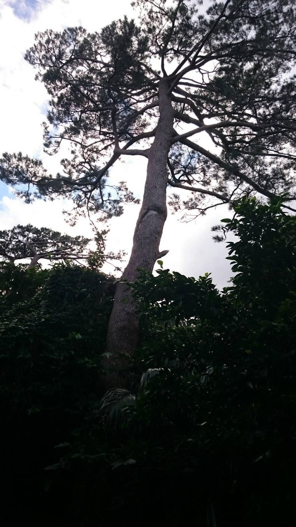 大きな松の木