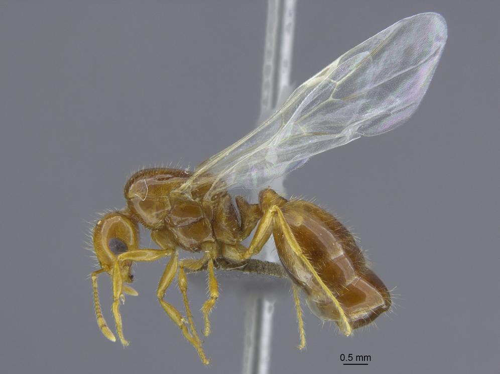 ヒアリSolenopsis invicta 台湾産有翅女王アリ側面図