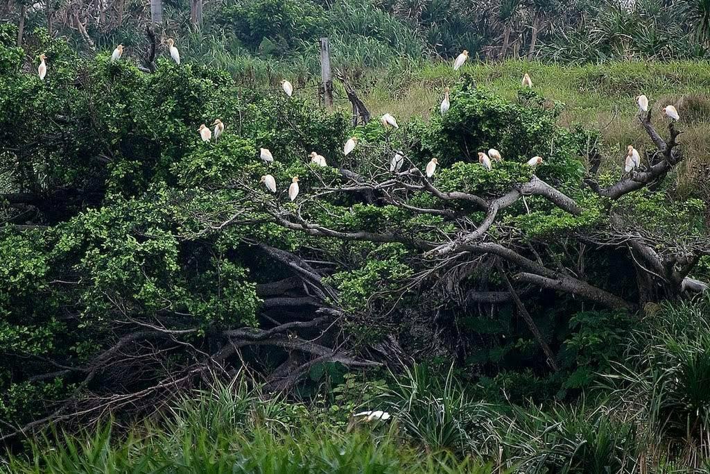日本最西端の島与那国の鳥たち