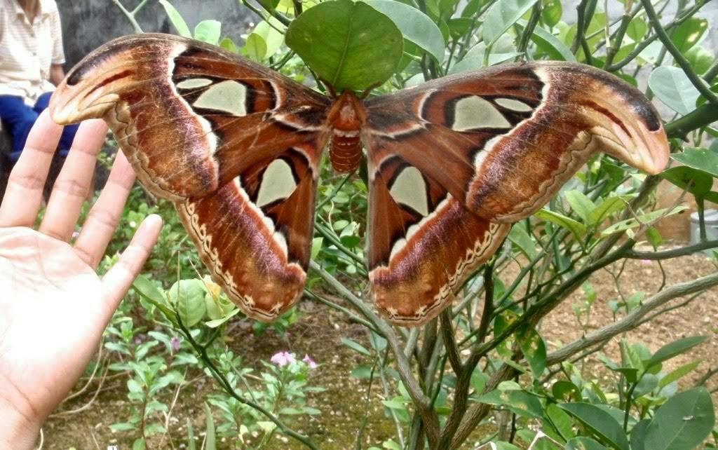 日本最西端の島与那国の世界最大の蛾「ヨナグニサン」