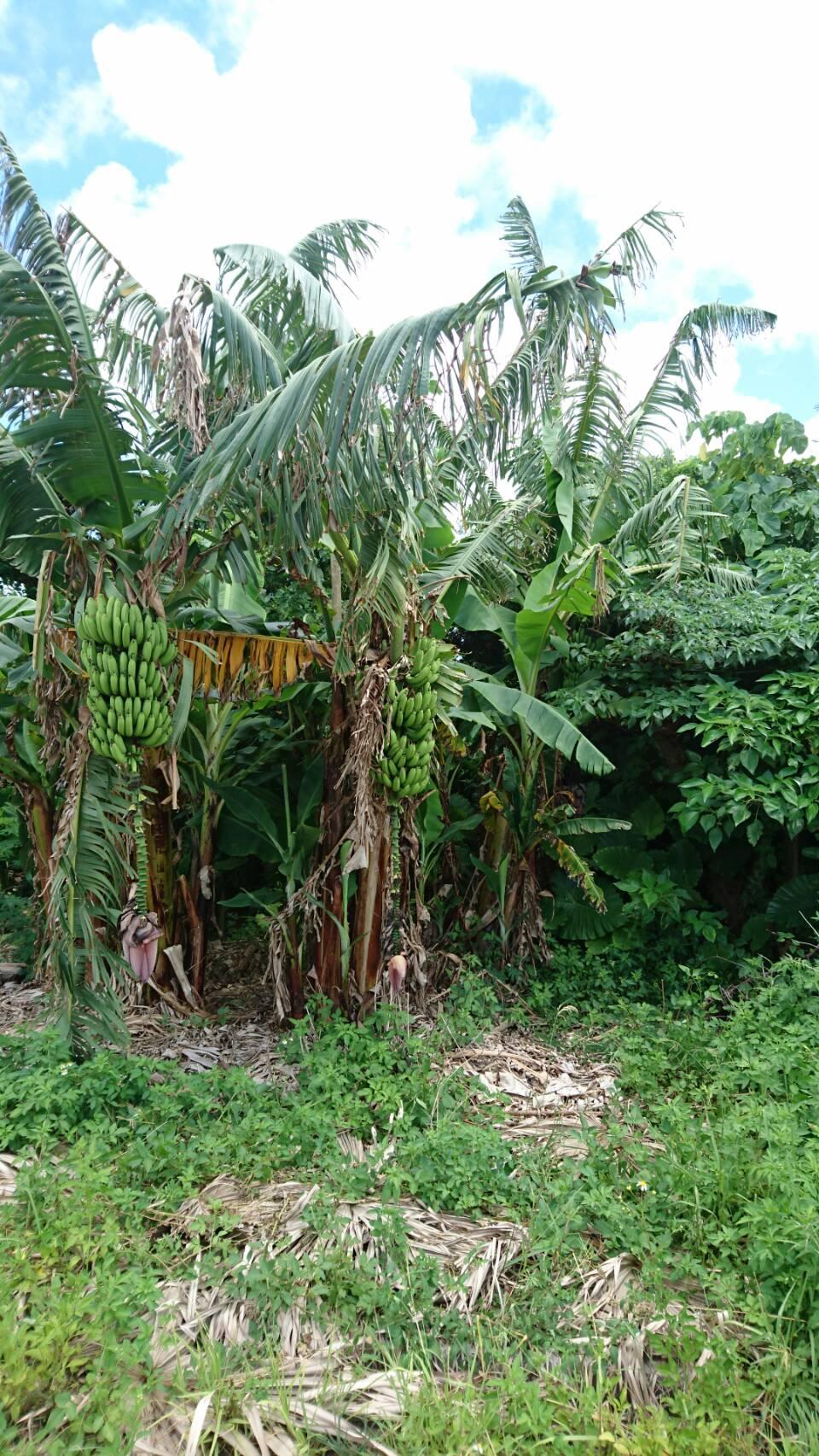 「与那国島」のバナナ