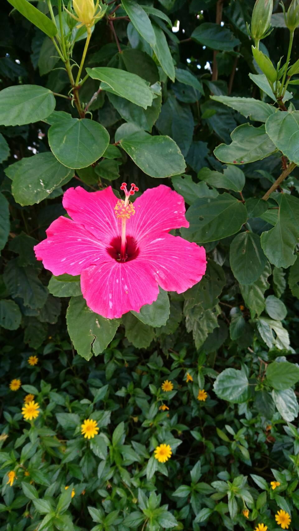 「与那国島」の桃色のハイビスカス