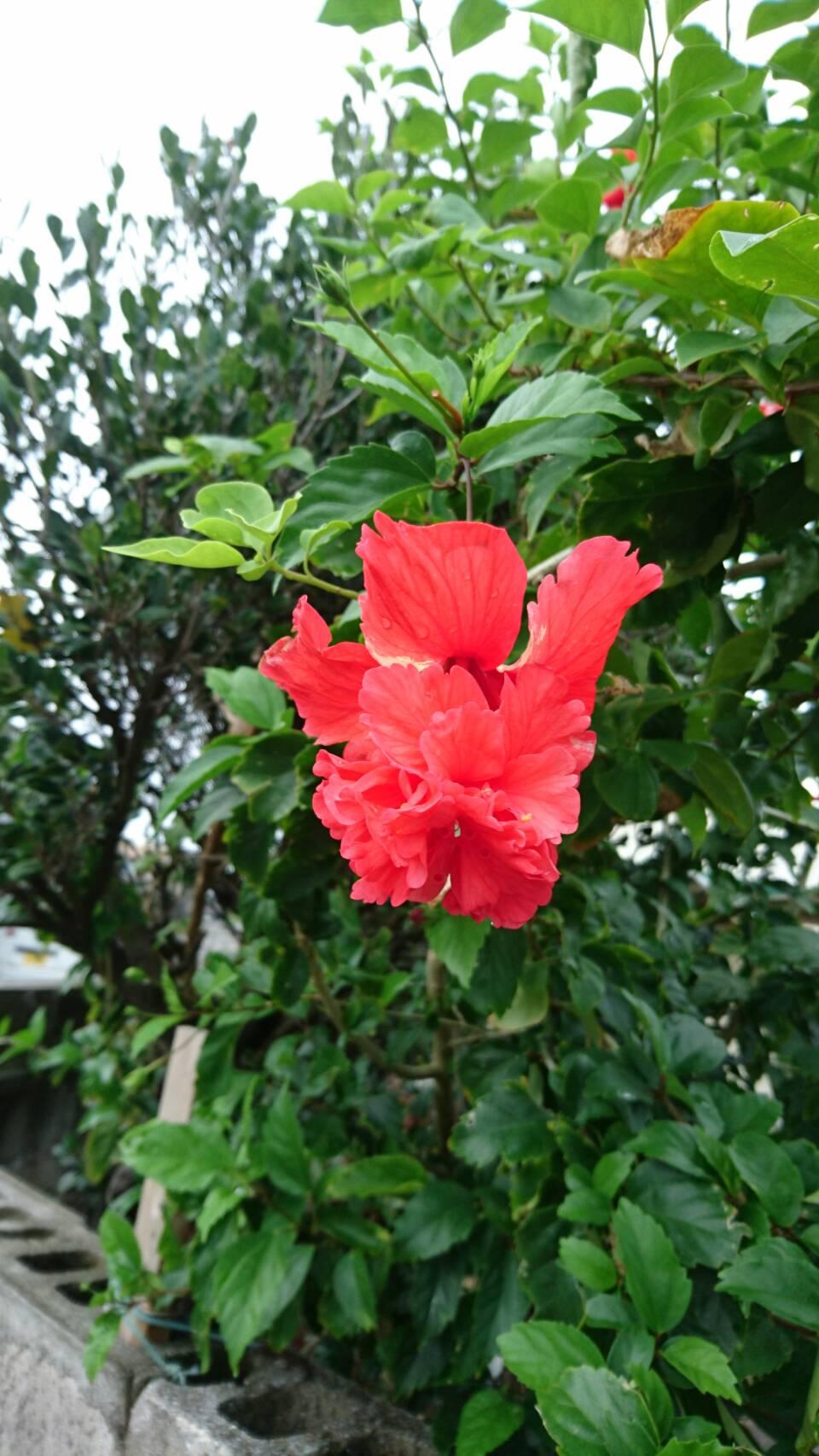 「与那国島」のオレンジ色のハイビスカス