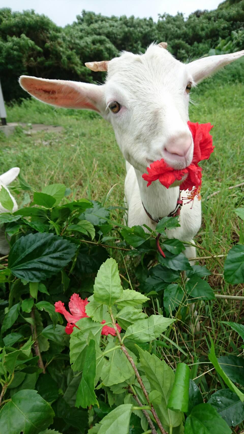 「与那国島」のハイビスカスを食べるヤギ