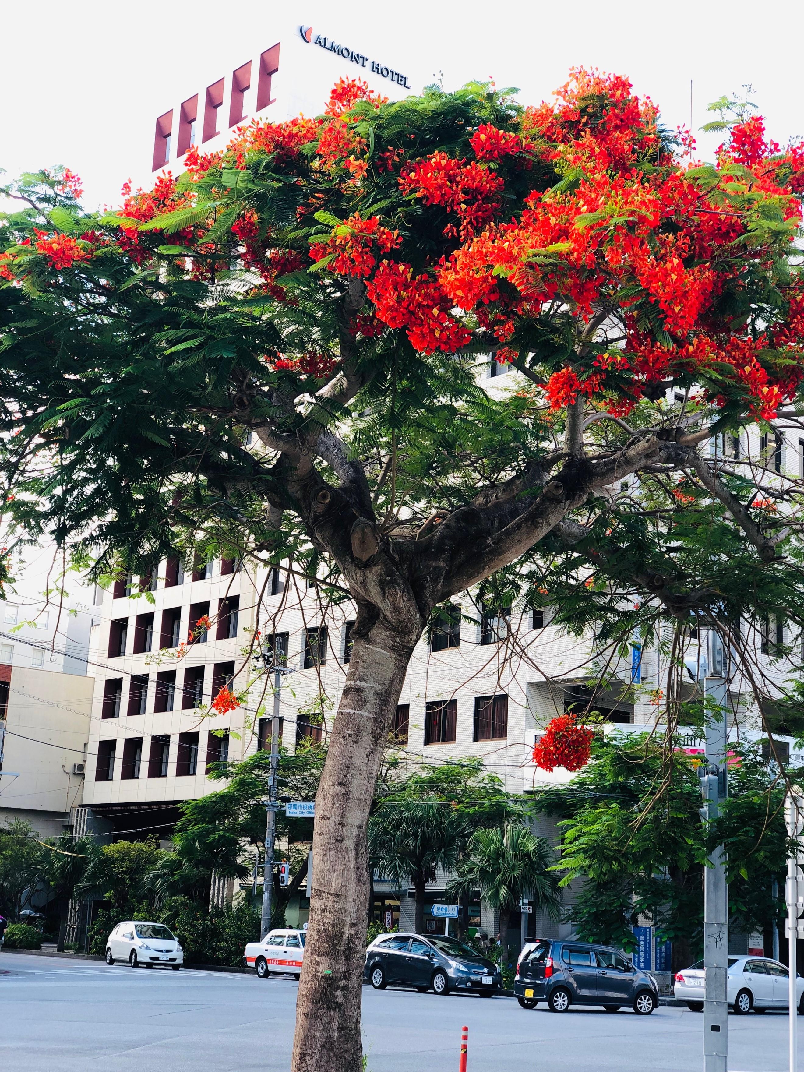 那覇市役所そばの「ホウオウボク」