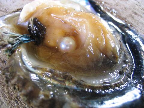 日本の真珠貝(アコヤガイ)