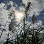 冬の風物詩!本島のウージが大集合 甘い香りに平和を願う
