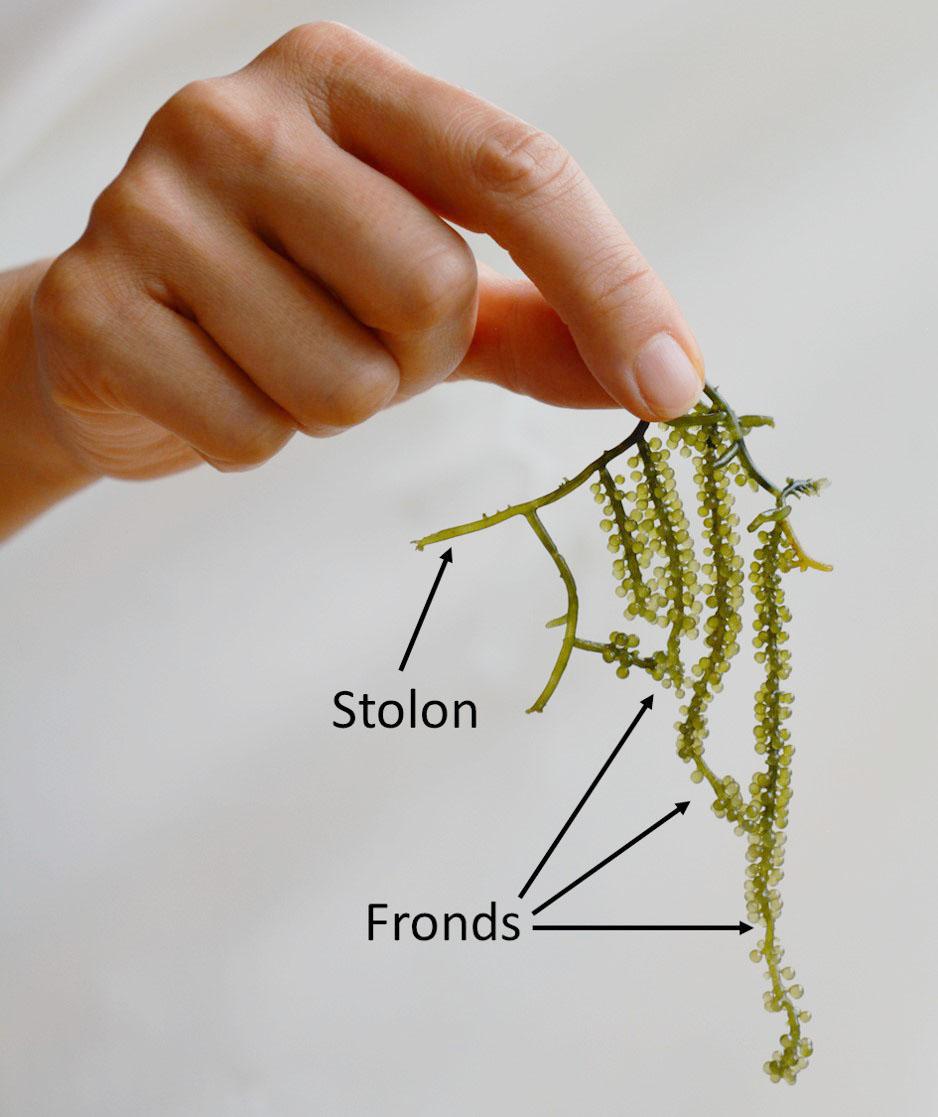 海ぶどうの体:果物のブドウに似た房の部分(Fronds)とつた状上の部分(Stolon)