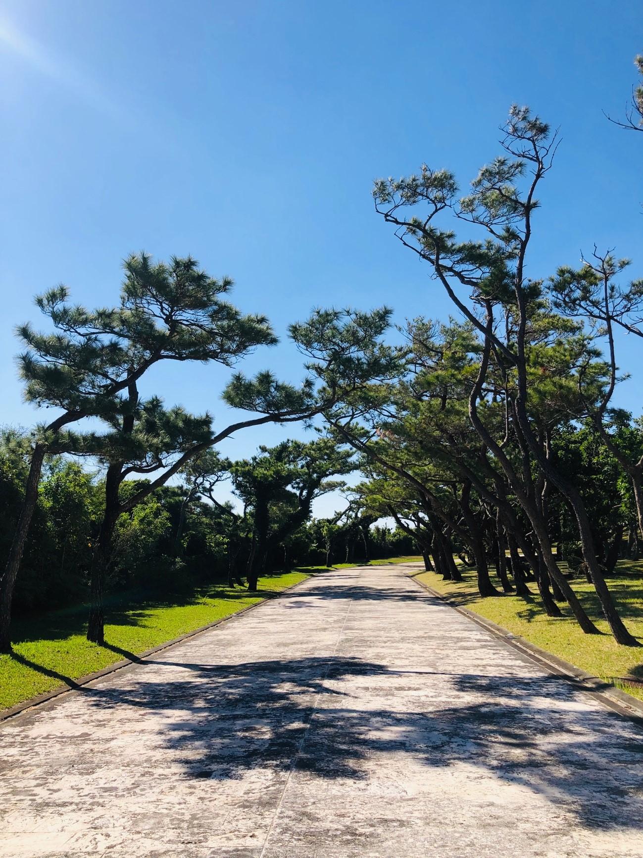 沖縄県糸満市「平和祈念公園」の松(リュウキュウマツ)