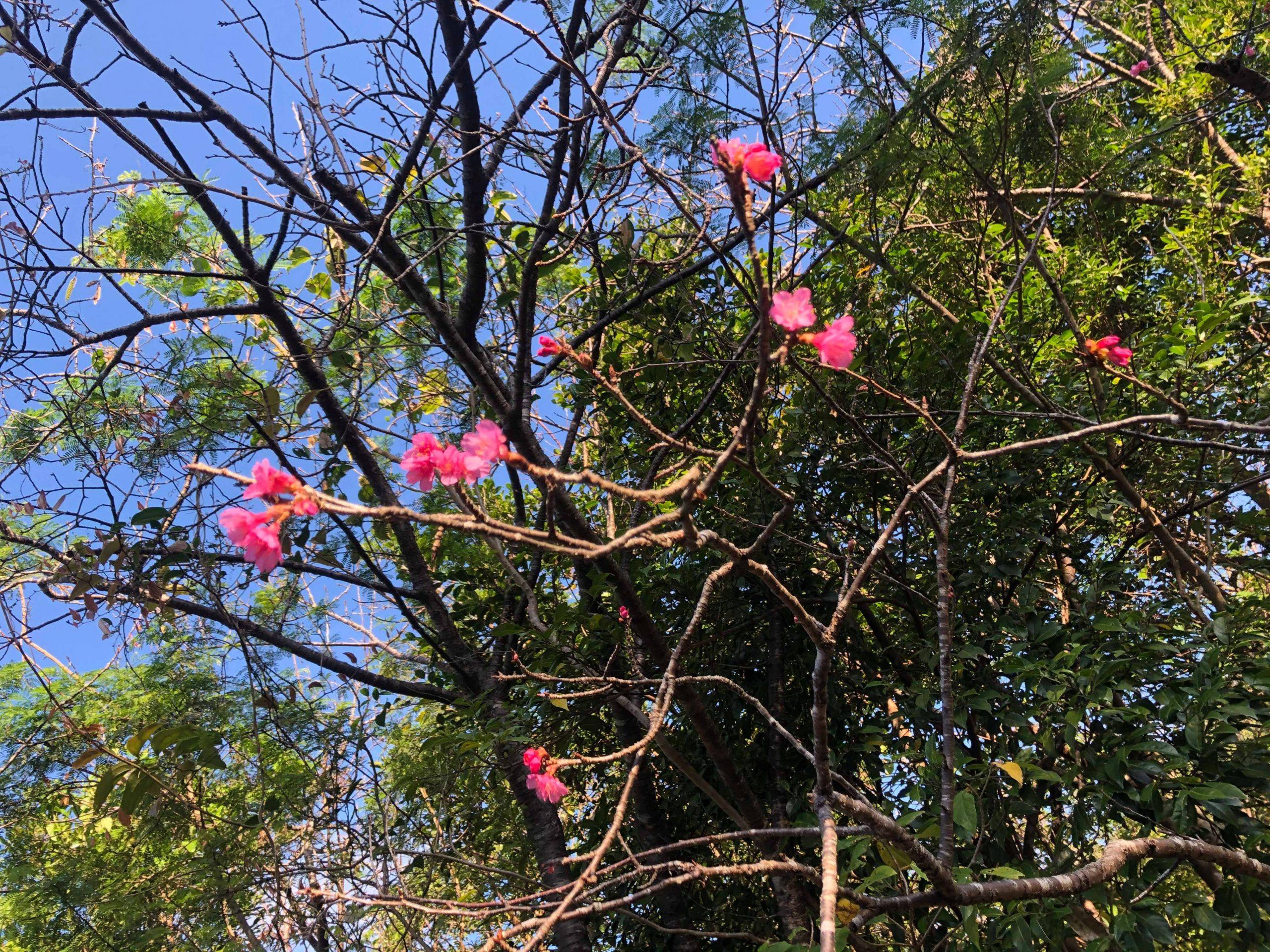 多野岳の桜がちらほら